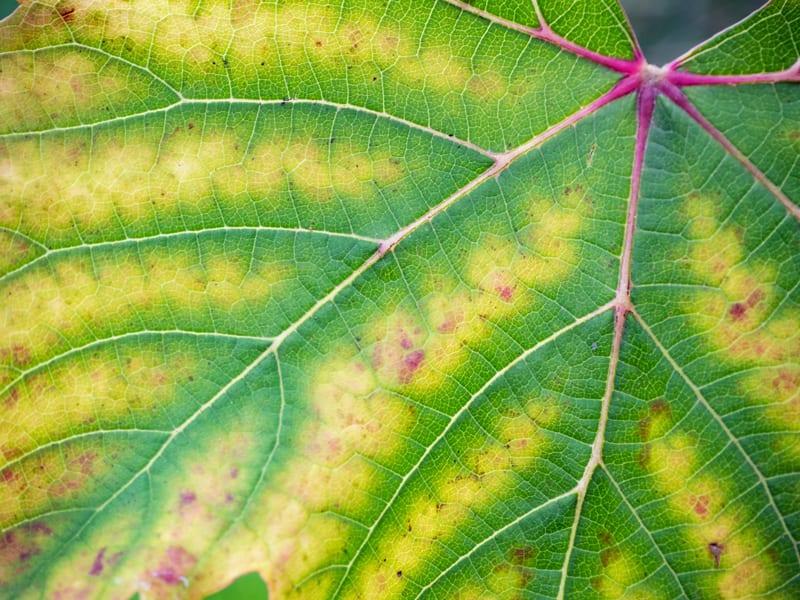 Leaf with Chlorosis