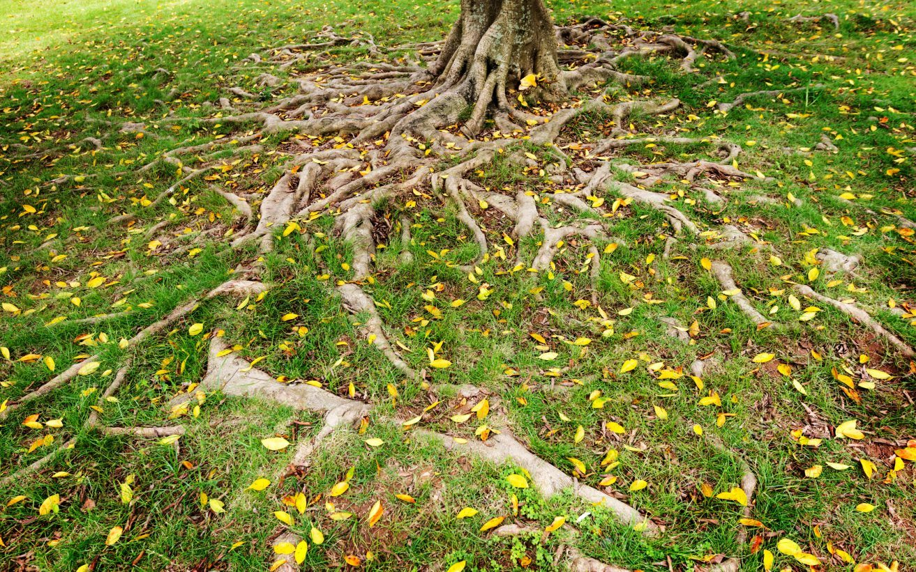 Aggressive Tree Roots Traveling Across the Ground