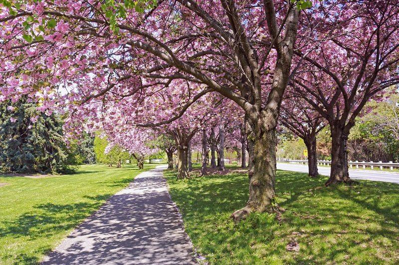 cherry blossom spring trees