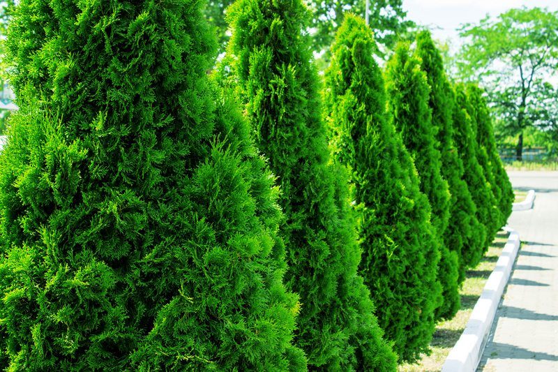 Row of Arborvitae for privacy