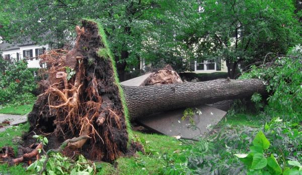 Uprooted Storm Damaged Tree